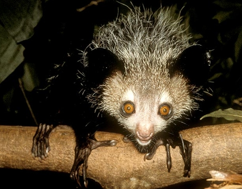 The Aye Aye is very secretive, living in the trees all its life