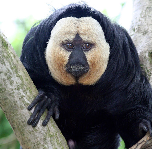 White-faced Saki Monkey