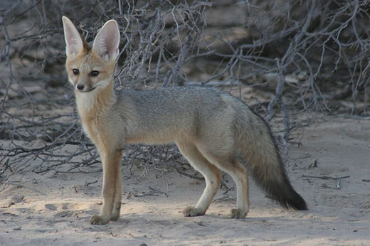 The Cape Fox It S Nature Ground Mammals