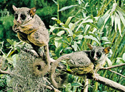 The Senegal Bushbaby is perhaps the most widespread of the bushbabies