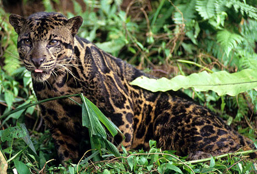 leopardr1403 600x463 Bornean Big Cat