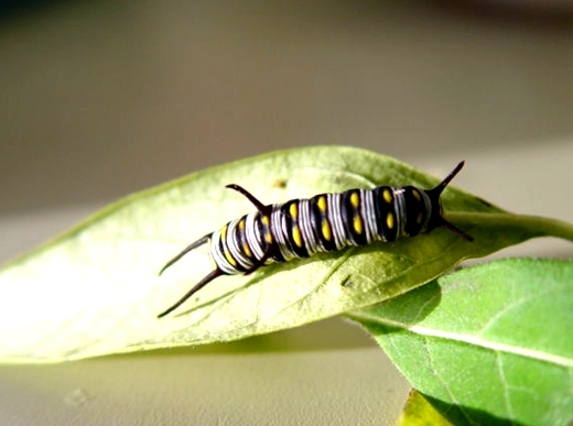 queen caterpiller Queen Butterfly