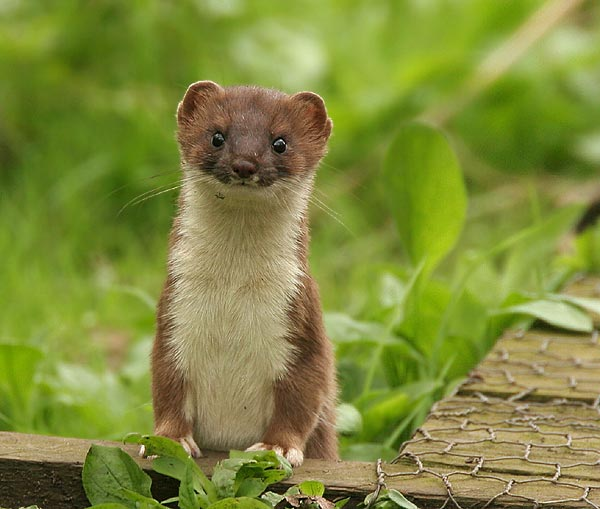 A Stoat, one of the more prolific animals in the UK