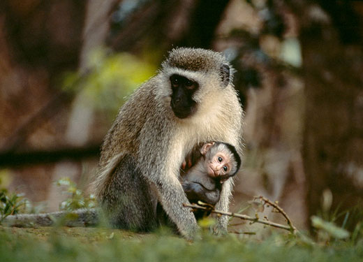 A Female Vervet Monkey with her baby