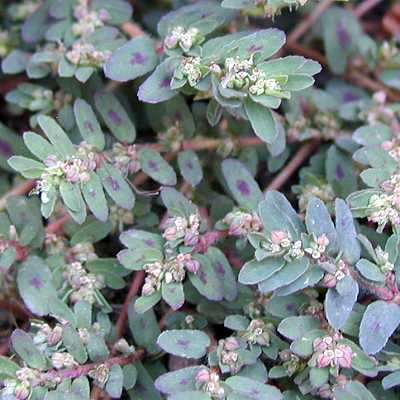 spurgespotted8 29 05 Spurge