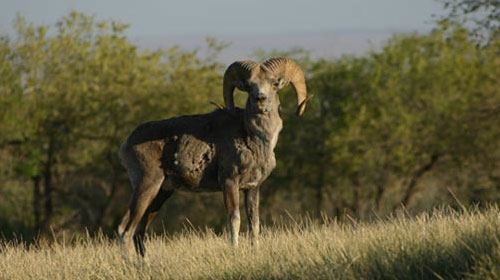 argali1 10 Mammals You Never Knew Existed