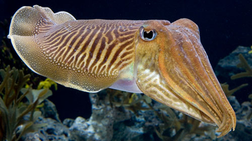cuttlefish1 10 Animals You Never Knew Were Poisonous