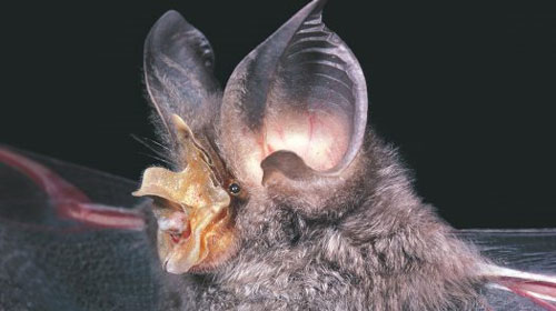 horseshoebat1 Top 10 Worlds Ugliest Creatures