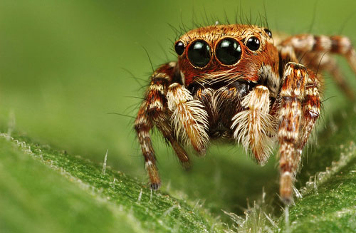 jumping spider 20 Species You Dont Want To Meet