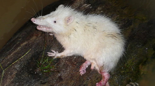moonrat1 10 Mammals You Never Knew Existed