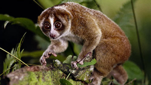 slowloris1 10 Animals You Never Knew Were Poisonous