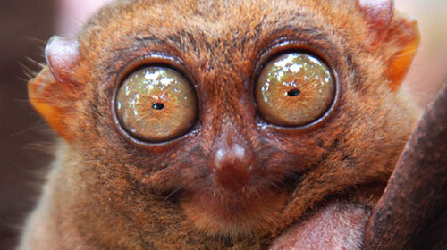 tarsier1 Top 10 Worlds Ugliest Creatures