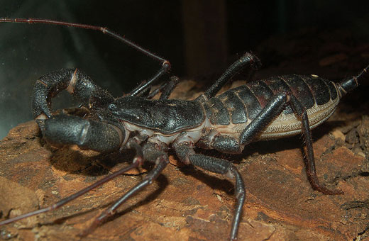 whipscorpion1 Whip Scorpion