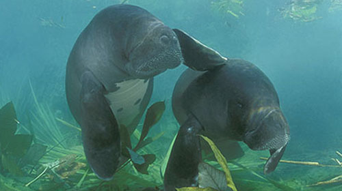 Man and Manatee Project | Manatee Tales |Manatees Playing
