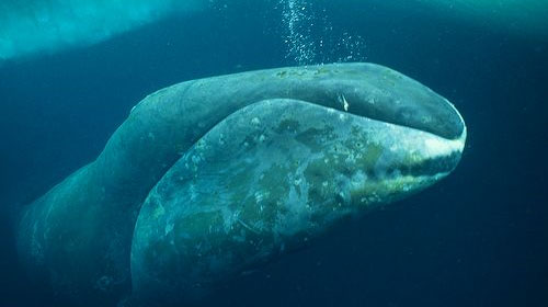 bowheadwhale1 8 Creatures That Outlive Humans