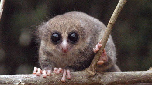 hairydwarf1 Hairy eared dwarf lemur