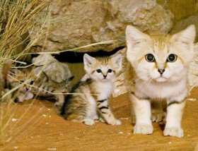 13 ae sand cats01 4 Sand Cat