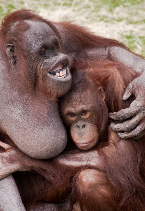 Orangutans sharing the love
