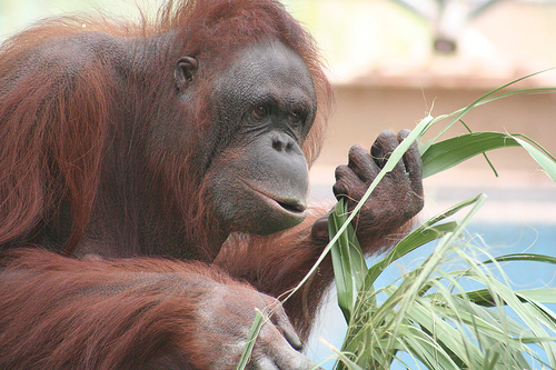 Orangutan: Think before you eat!