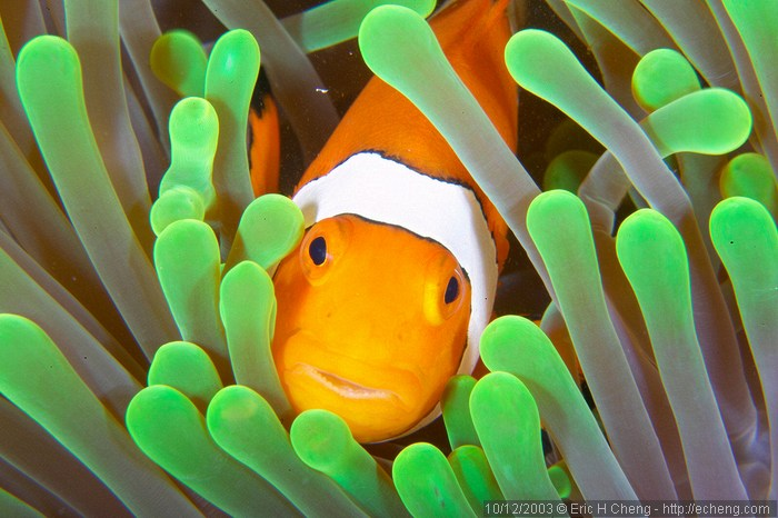 Clownfish amphiprion fish for Clown fish habitat