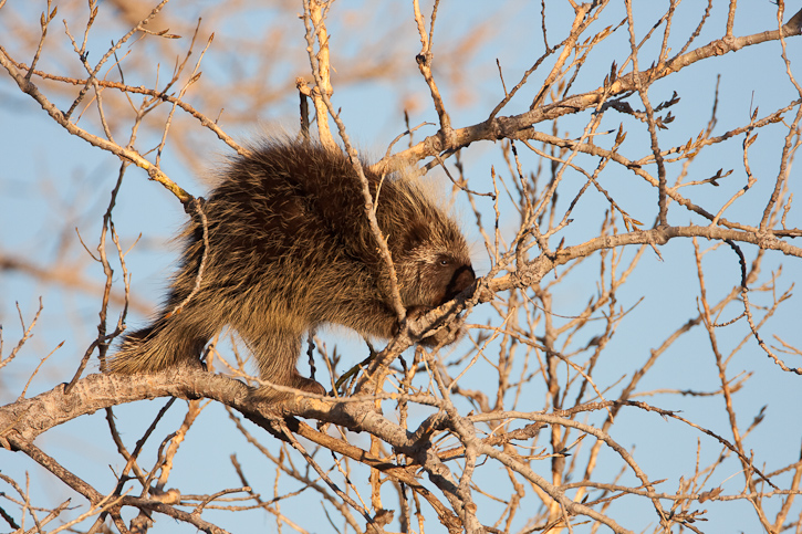 North American Porcupine high in a tree