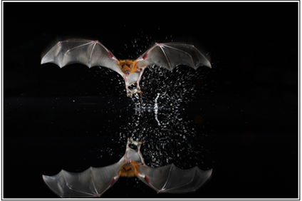 Fishing Bat Gliding Over Water