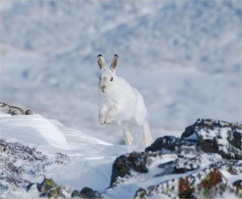 Mountain Hares are barely visible in the snow