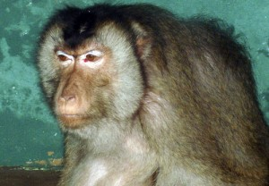 Despite their rather threatening appearance, Pigtail Macaques are actually very friendly