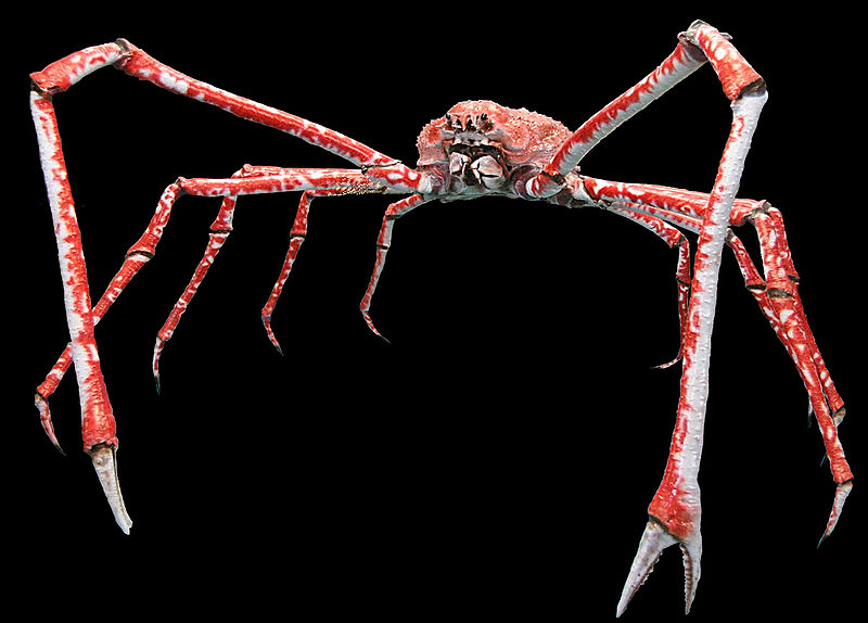 The enormously huge Japanese Spider Crab