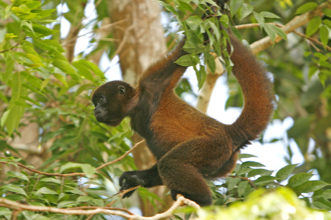 A young Woolly monkey moving through the leafage