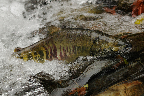 The Chum Salmon swimming upstream