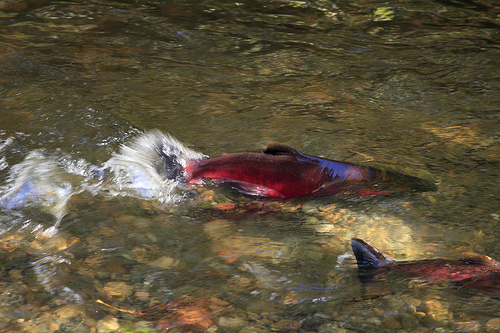 Spawning Coho Salmon at the Issaquah Salmon Hatchery