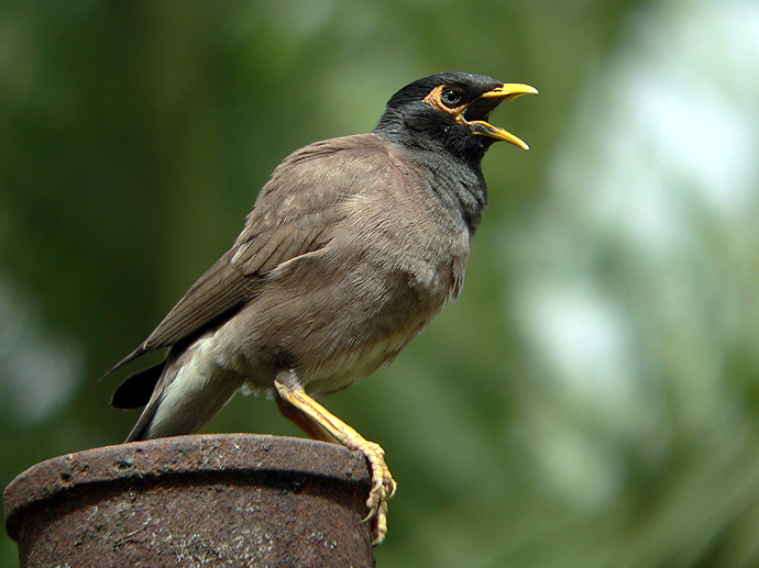 Common Myna Acridotheres Tristis Birds