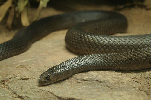 A brown - black coloured dugite