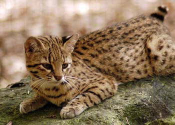 Geoffroy's cats may sometimes seem identical to house cats