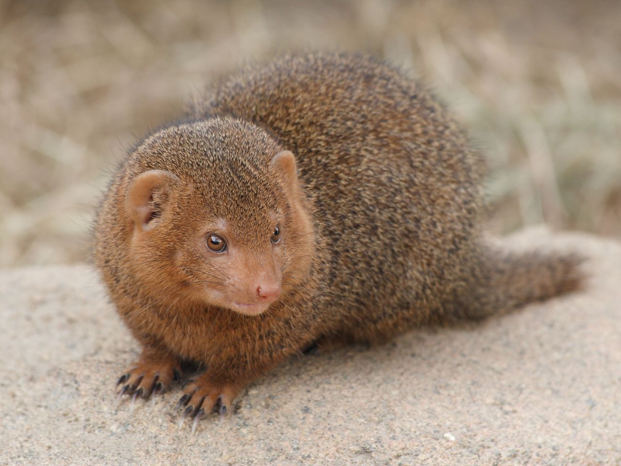 Gray Mongoose