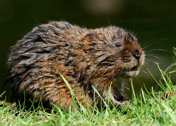 20080513034605 European Water Vole
