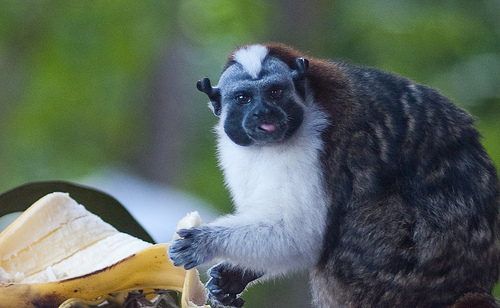 Geoffroy's Tamarin eating a banana