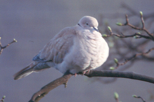 Collared Doves usually feed until their gizzard is full, and then slowly digest it while resting on a branch