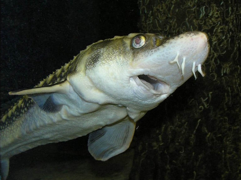 acipenser sturio European Sea Sturgeon