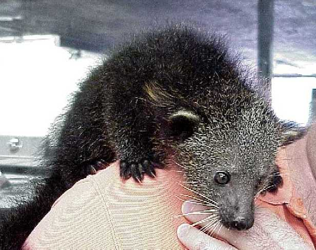 Young Binturongs are very playful and attractive in zoos