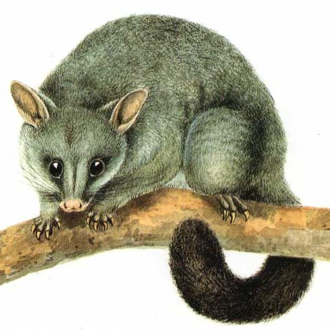 A drawing of the common Brushtail Possum