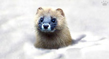 in japan Siberian Mountain Weasel