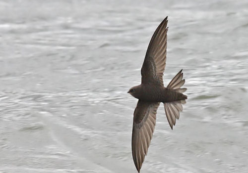 Common Swifts often fly near the surface of the water to catch bugs flying there