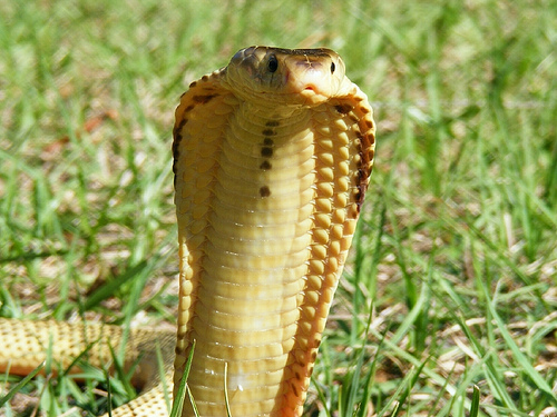 3379908560 3aa7ea1b15 Spitting Cobra