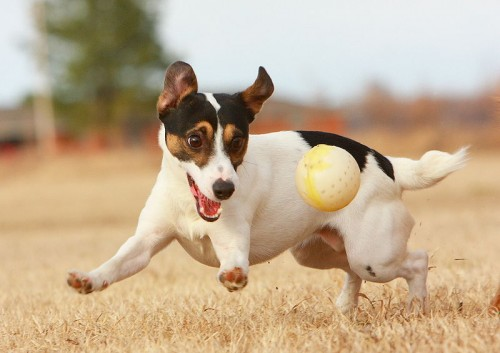 800px JRT with Ball e1282492867110 Jack Russell