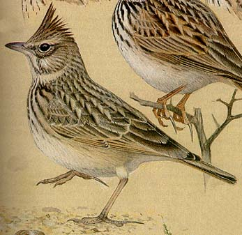 A drawing of the Crested Lark