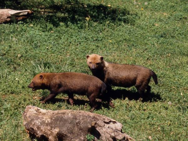 Bush Dogs are extremely social animals and they communicate with a variety of sounds