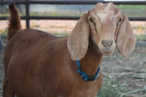Boer Goat - Ground Mammals
