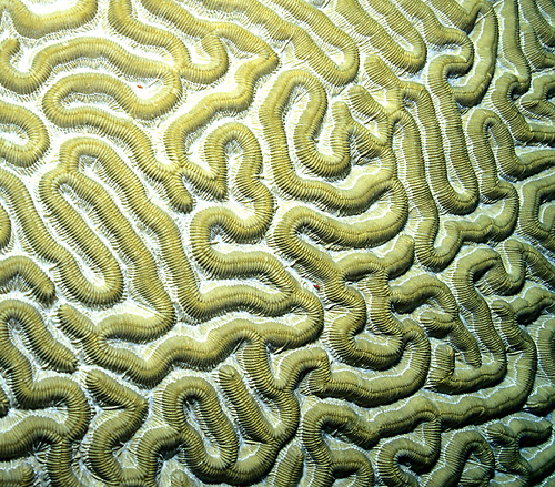 brain coral drawing - photo #13
